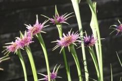 kvetoucí porost kozí brady fialové