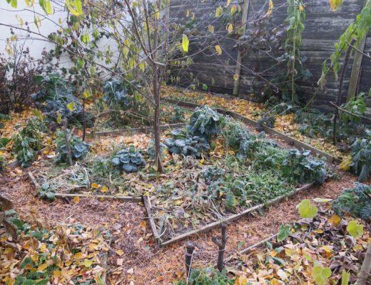 Záhony s přezimující průběžně sklízenou zeleninou pokryté listím